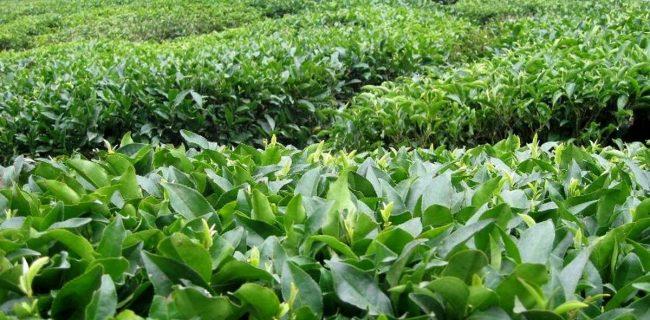 ۸۷۰ تن چای در رامسر خریداری شده است